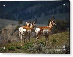Pronghorns Acrylic Print