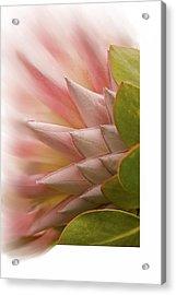 Protea Blossom Acrylic Print