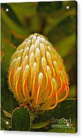 Proteas Ready To Blossom  Acrylic Print