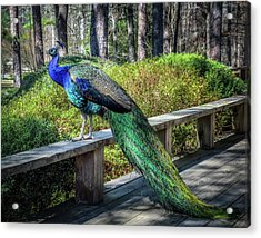 Acrylic Print featuring the photograph Proud As A Peacock by James Barber