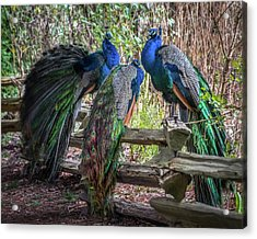 Proud As Three Peacocks Acrylic Print