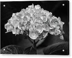Proud Blue Hydrangea Black And White Acrylic Print by Sandi OReilly
