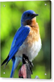 Proud Bluebird Out Kitchen Window Acrylic Print by Betty Pieper