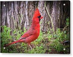 Proud Cardinal Acrylic Print