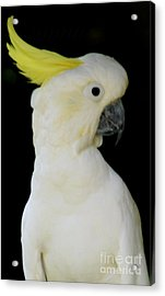 Proud Cockatoo Acrylic Print