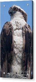 Proud Hawk Acrylic Print