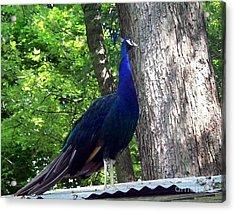Proud Peacock Acrylic Print by Emily Kelley