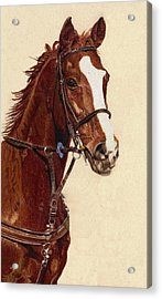 Proud - Portrait Of A Thoroughbred Horse Acrylic Print