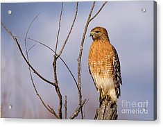 Proud Profile Acrylic Print by Charles Hite