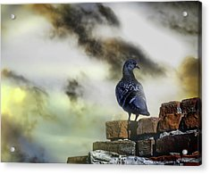Proud To Be A Pigeon Acrylic Print by Bob Orsillo
