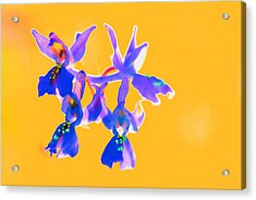 Orange Provence Orchid  Acrylic Print by Richard Patmore