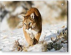 Prowling Mountain Lion Acrylic Print