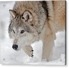 Prowling Wolf Acrylic Print