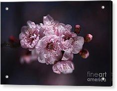 Prunus A Pink Spring Acrylic Print