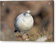 Ptarmigan Going For A Stroll Acrylic Print
