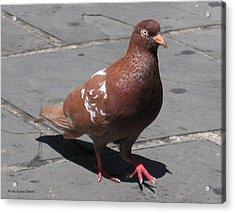 Acrylic Print featuring the photograph Puerto Rican Pigeon by Suhas Tavkar