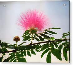 Puff Of Pink - Mimosa Flower Acrylic Print