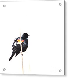 Puffed Up Red-winged Blackbird Acrylic Print