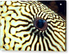 Pufferfish Acrylic Print by Dave Fleetham - Printscapes