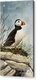 Puffin Acrylic Print by James Williamson