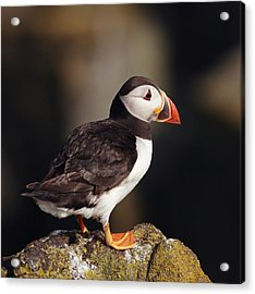 Puffin On Rock Acrylic Print by Grant Glendinning