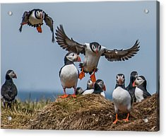 Puffins Acrylic Print by Brian Tarr