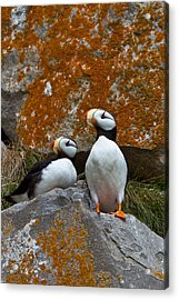 Puffins On A Lichen-covered Cliff Horned Puffins, Fratercula Corniculata, Lake Clark National Park, Alaska, Usa Acrylic Print by Mint Images/ Art Wolfe