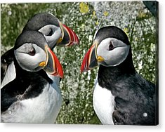 Puffins Together Acrylic Print