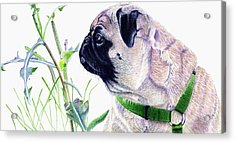 Pug And Nature Acrylic Print