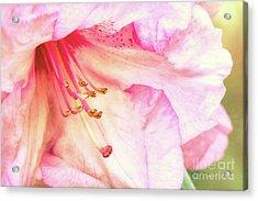 Puget Sound Rhododendron Acrylic Print by Jean OKeeffe Macro Abundance Art
