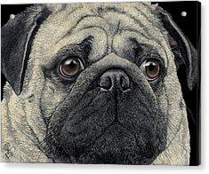 Pugshot Acrylic Print