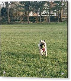 #pugsofinstagram #puglife #pug Acrylic Print by Natalie Anne