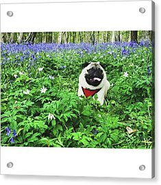 #pugstagram #pugsofinstagram #bluebell Acrylic Print by Natalie Anne