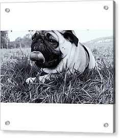 #pugstagram #pugsofinstagram #puglife Acrylic Print by Natalie Anne