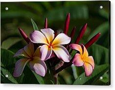 Pulumeria Blossums  Acrylic Print