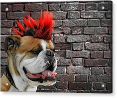 Punk Bully Acrylic Print by Christine Till