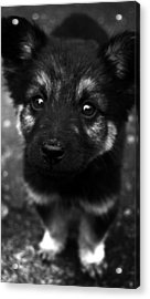 Pup Acrylic Print by Christopher Lugenbeal