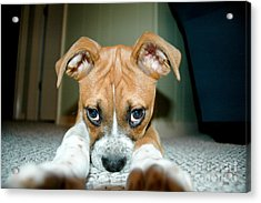 Puppie Dog Eyes Acrylic Print by Maureen Norcross