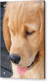 Puppy Face Acrylic Print