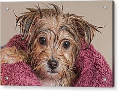 Puppy Getting Dry After His Bath Acrylic Print