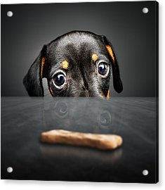 Puppy Longing For A Treat Acrylic Print by Johan Swanepoel