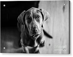 Puppy - Monochrome 1 Acrylic Print