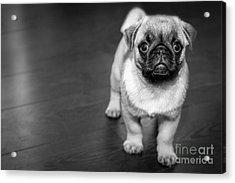 Puppy - Monochrome 2 Acrylic Print
