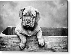 Puppy - Monochrome 3 Acrylic Print