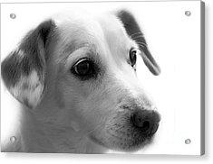 Puppy - Monochrome 4 Acrylic Print
