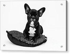 Puppy - Monochrome 5 Acrylic Print