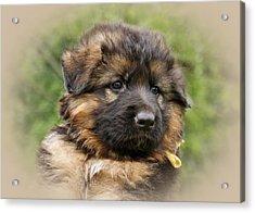 Puppy Portrait II Acrylic Print by Sandy Keeton