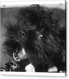 #puppy #pupylove #puppiesofinstagram Acrylic Print