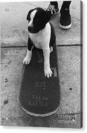 Puppy Skater Acrylic Print by WaLdEmAr BoRrErO