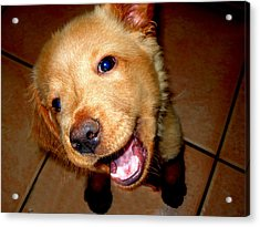 Puppy Smile Acrylic Print by Irma BACKELANT GALLERIES